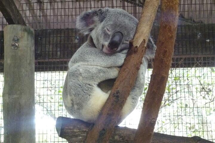 koala_720.JPG