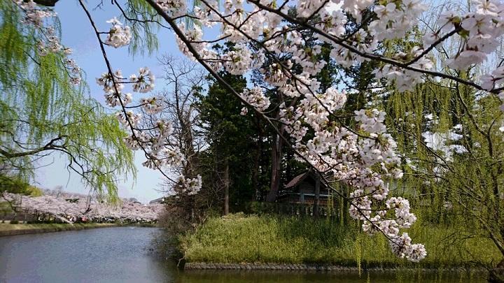 Sakura_720.jpg