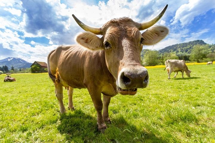 cow-759018_720.jpg