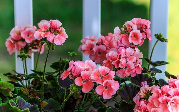 pink-geranium-2729139_1920_720.jpg