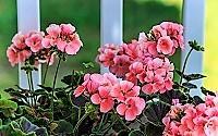 pink-geranium_200.jpg