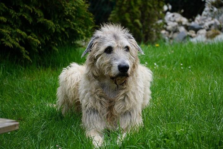 irish-wolfhound-1789938_720.jpg