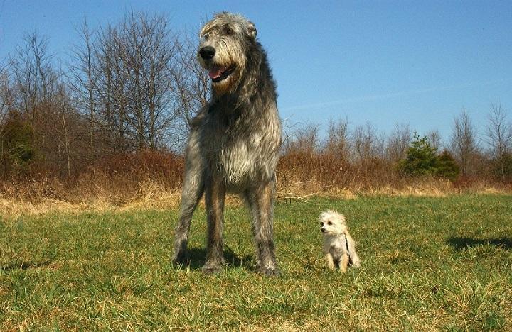 irish-wolfhound-85578_720.jpg
