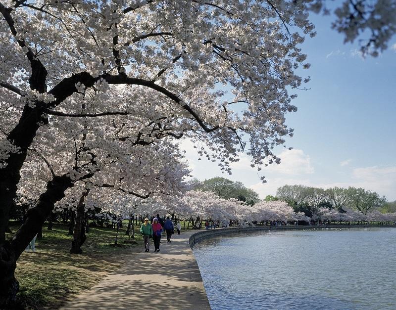 ポトマック河畔の桜@タイダルベイスン_800.jpg