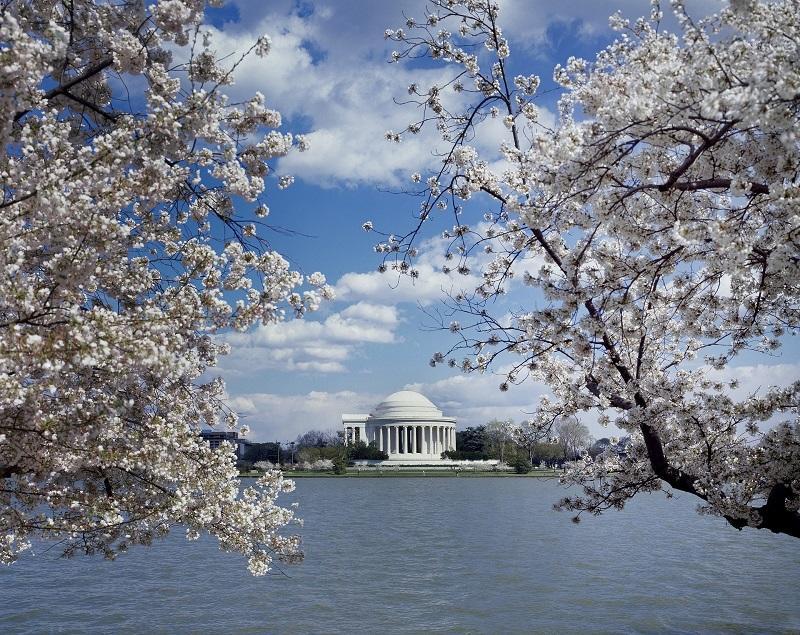 ワシントンの桜_800.jpg